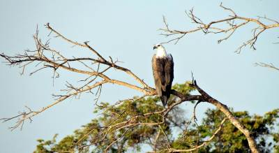 another majestic fish eagle