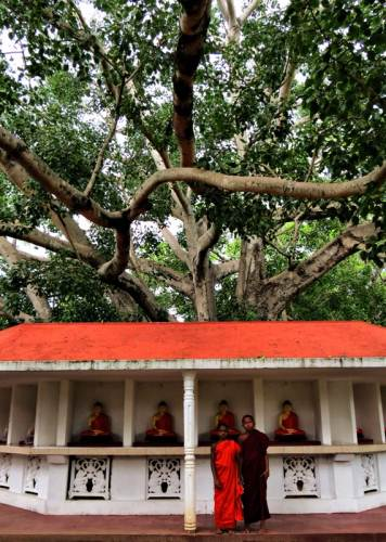 the bo tree at unawatuna temple