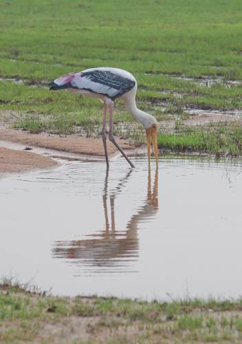 Painted stork fishing on a road pool