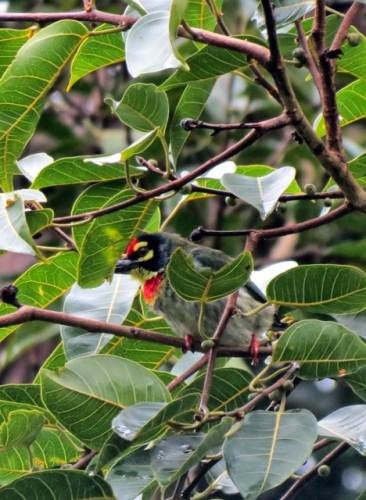 Coppersmith barbet( Crimson Breasted barbet)