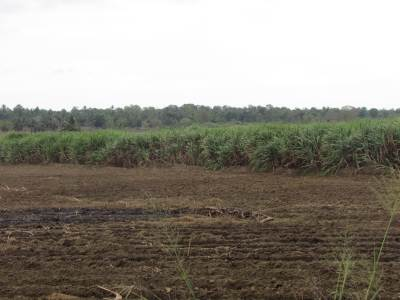 Sugar cane land at Sewanagala