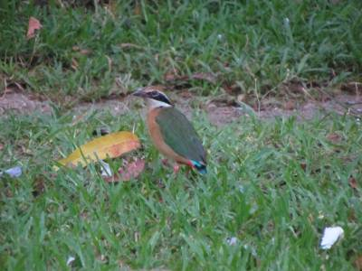 Saw this Indian Pitta at the rest house garden