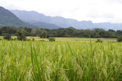 Paddy fields reaching the far away mountains