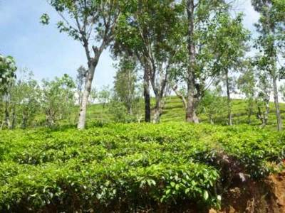 Tea estates ………