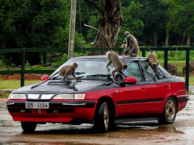 Monkeys attacking a moving car in Sithulpawwa temple...