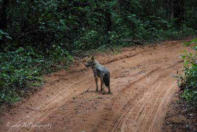 Jackal…he just walk in front of our vehicles about 700m..