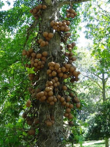 Not edible, it's only a Sal tree