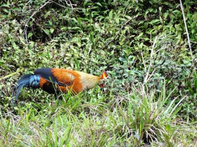 Jungle fowl at Horton plains