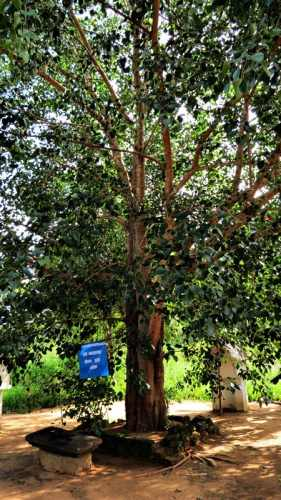 paille bo tree(this tree is a direct descendant of Sri maha bodiya