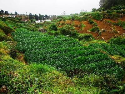 Vegetable plantation
