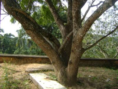 A tree at a side of the devalaya used to worship to the God Kadawara