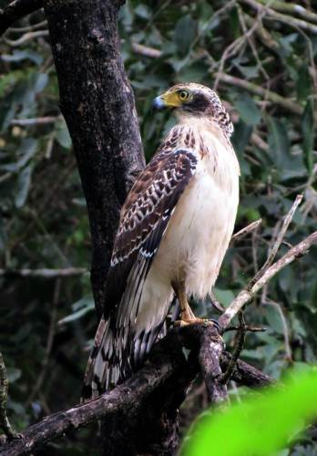 seems like a changeable hawk eagle