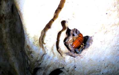 Ample of cockroaches being food to bats