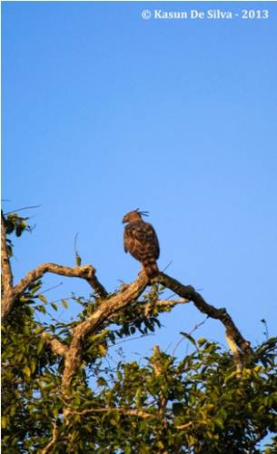 Crested Haws Eagle