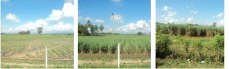 3 different stages of Sugar cane cultivation
