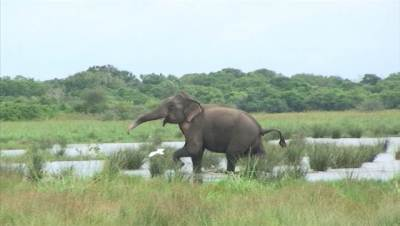 Elephant at Kumana lake