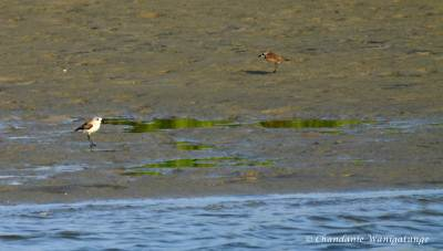 We first met these plovers…….