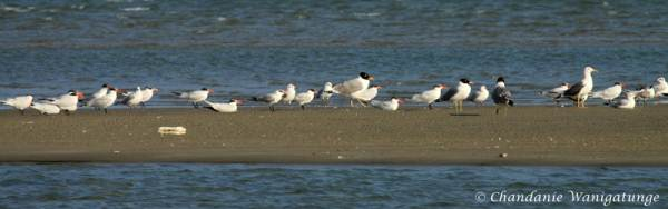Caspian terns and brown headed gulls