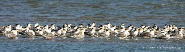 Greater crested terns - jam packed!