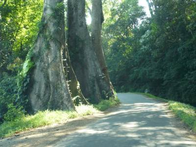 "Huge trees by the road. Villager said this is ""Panu Muguna"""