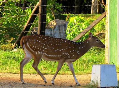 the tamed deer at STF camp lahugala