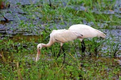 Eurasian Spoonbill couple – busy with the breakfast