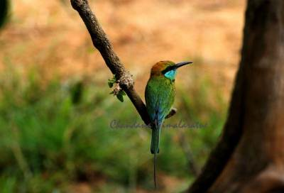 Green Bee- eater