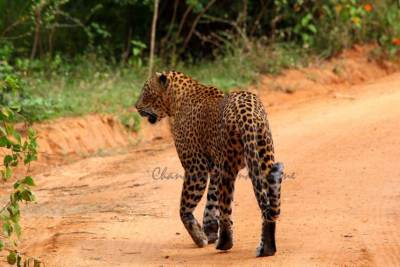The second leopard in its proud walk