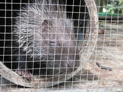 Adult porcupine  awaiting release
