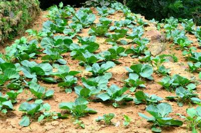 Cabbage cultivation?