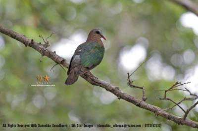 An Emerald Dove