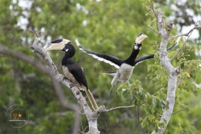 Malabar Hornbills (male & female)
