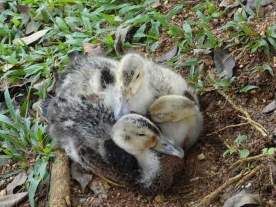 Ducklings nestling together