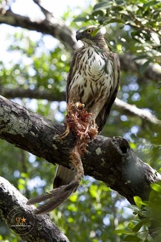 A Hawk Eagle with its pray (looks like a Junglefowl)