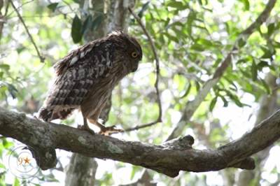 Brown Fish Owl (remind me a sense from the Legend of the Guardians)