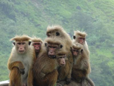 The monkey gang and can you see the leader in the middle with a stern look