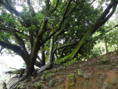 The Kovil is built under this tree in a cave