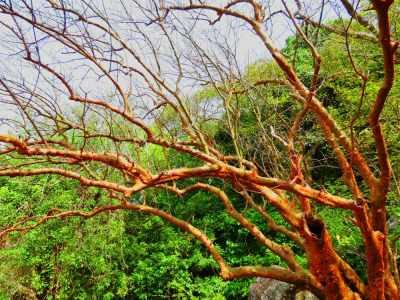 Leafless tree. This is a Gal Siyambala tree. Common in this area and would be full in another 2-3 months.