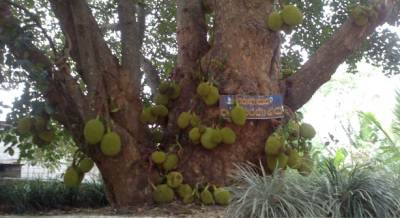Ancient Jack tree belonged to king. Famous joker called Andare (අන්දරේ) has eaten jack fruit from this tree.