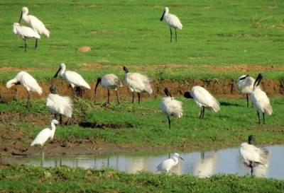 ibis, herons and spoon bills together