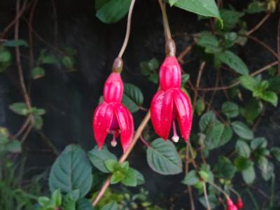 Hanging flowers at Ohiya