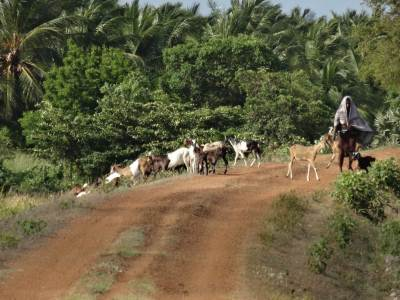 Herd of Goats being taken back home