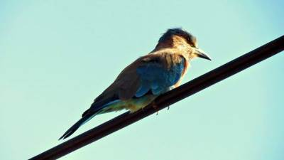 a Indian roller