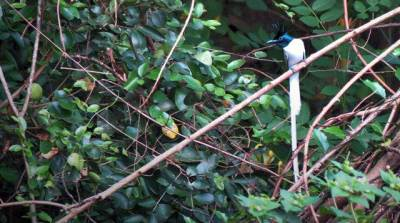 Asian Paradise Flycatcher - white form which gave me a very hard time