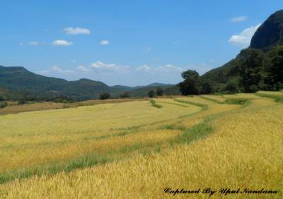 "Prosperous paddy field in ""Atanwala"""