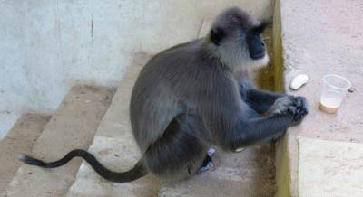 This monkey has come from Moneragala area for searching a CTB bus driver who has treated him well. That's why it travels on CTB buses.