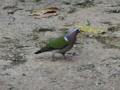 Emerald dove on the hunt for BF