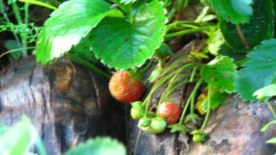 Strawberries of the backyard