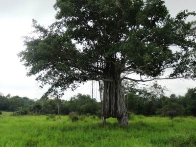 The Ali Panawa tree