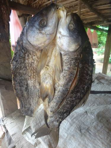 Huge fish being sold as dried